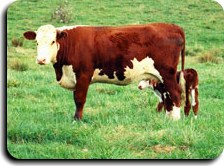 All Stock 10 grows your cattle